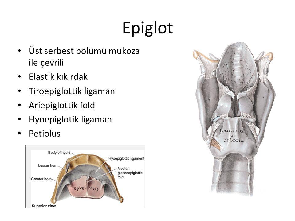 Epiglot Üst serbest bölümü mukoza ile çevrili Elastik kıkırdak