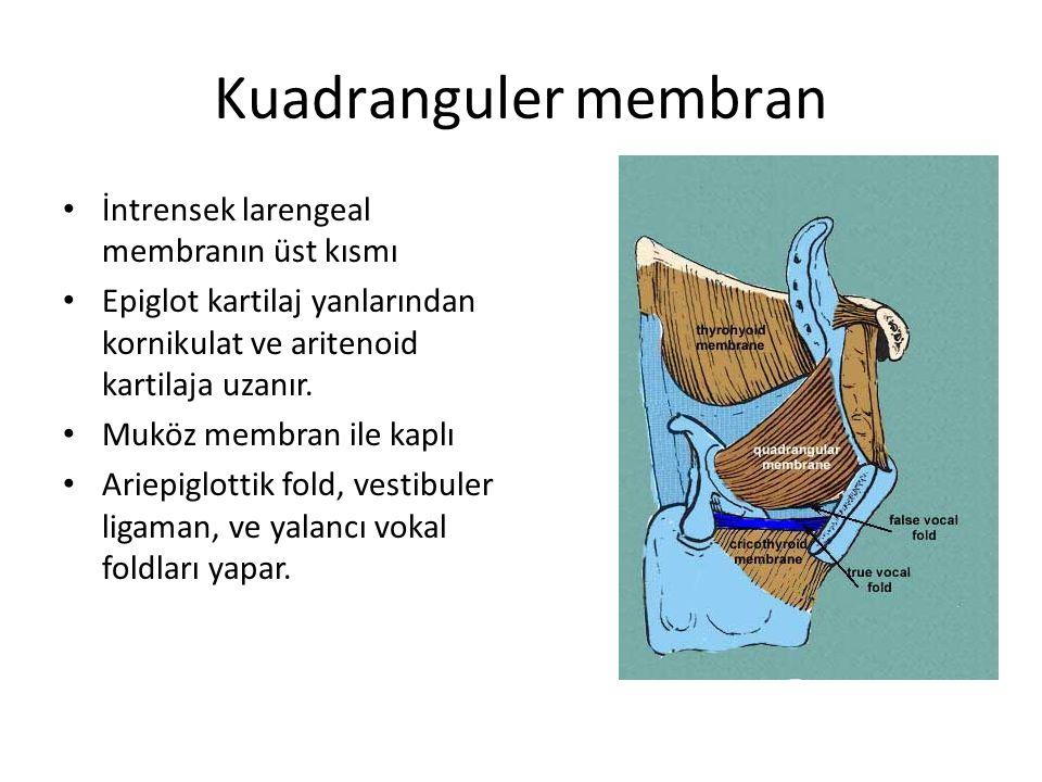 Kuadranguler membran İntrensek larengeal membranın üst kısmı