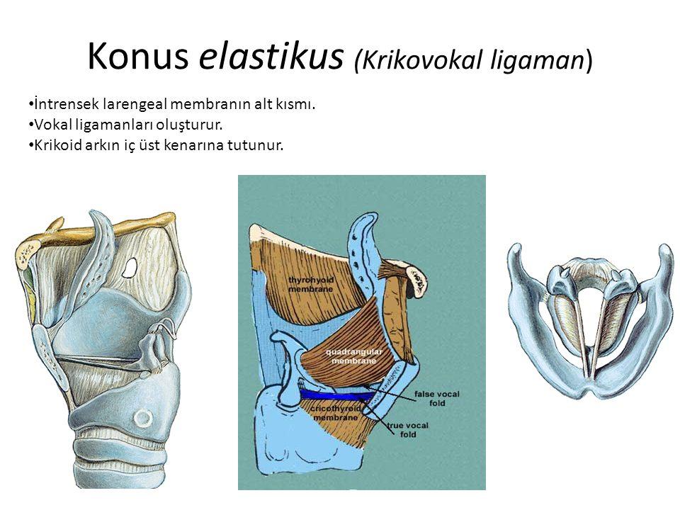 Konus elastikus (Krikovokal ligaman)