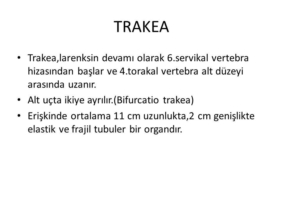 TRAKEA Trakea,larenksin devamı olarak 6.servikal vertebra hizasından başlar ve 4.torakal vertebra alt düzeyi arasında uzanır.