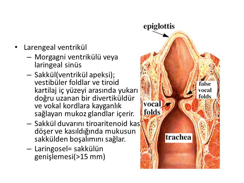 Larengeal ventrikül Morgagni ventrikülü veya laringeal sinüs.
