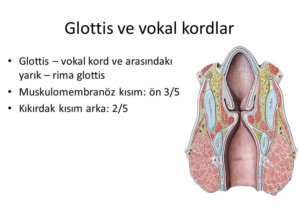 Glottis ve vokal kordlar