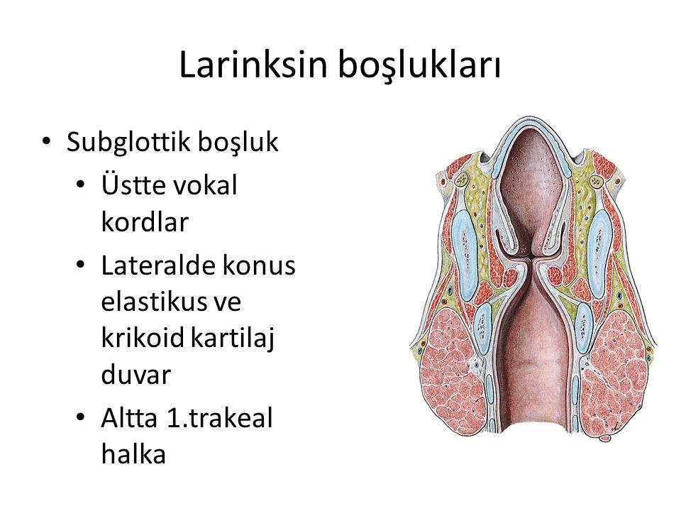 Larinksin boşlukları Subglottik boşluk Üstte vokal kordlar
