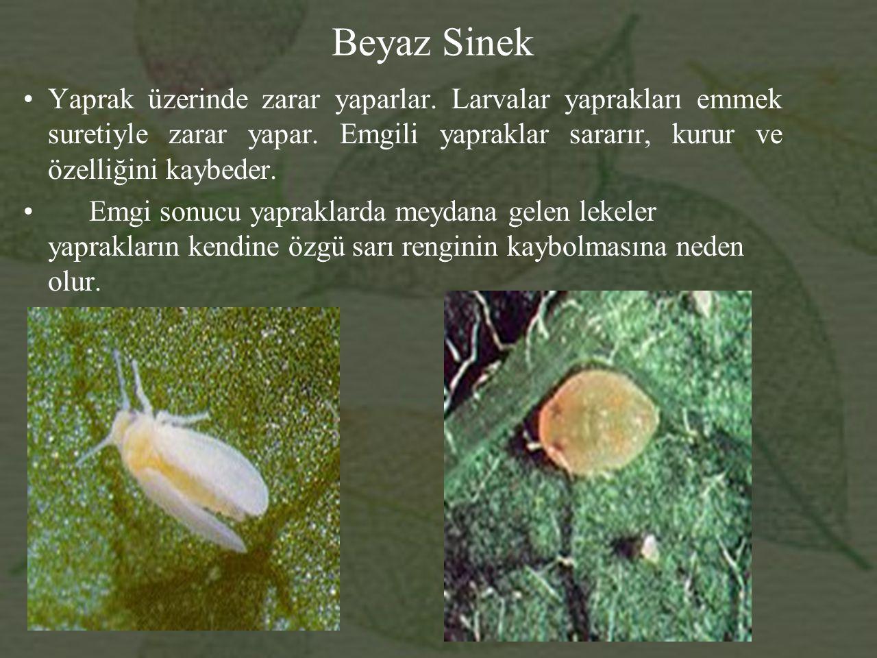 Beyaz Sinek Yaprak üzerinde zarar yaparlar. Larvalar yaprakları emmek suretiyle zarar yapar. Emgili yapraklar sararır, kurur ve özelliğini kaybeder.