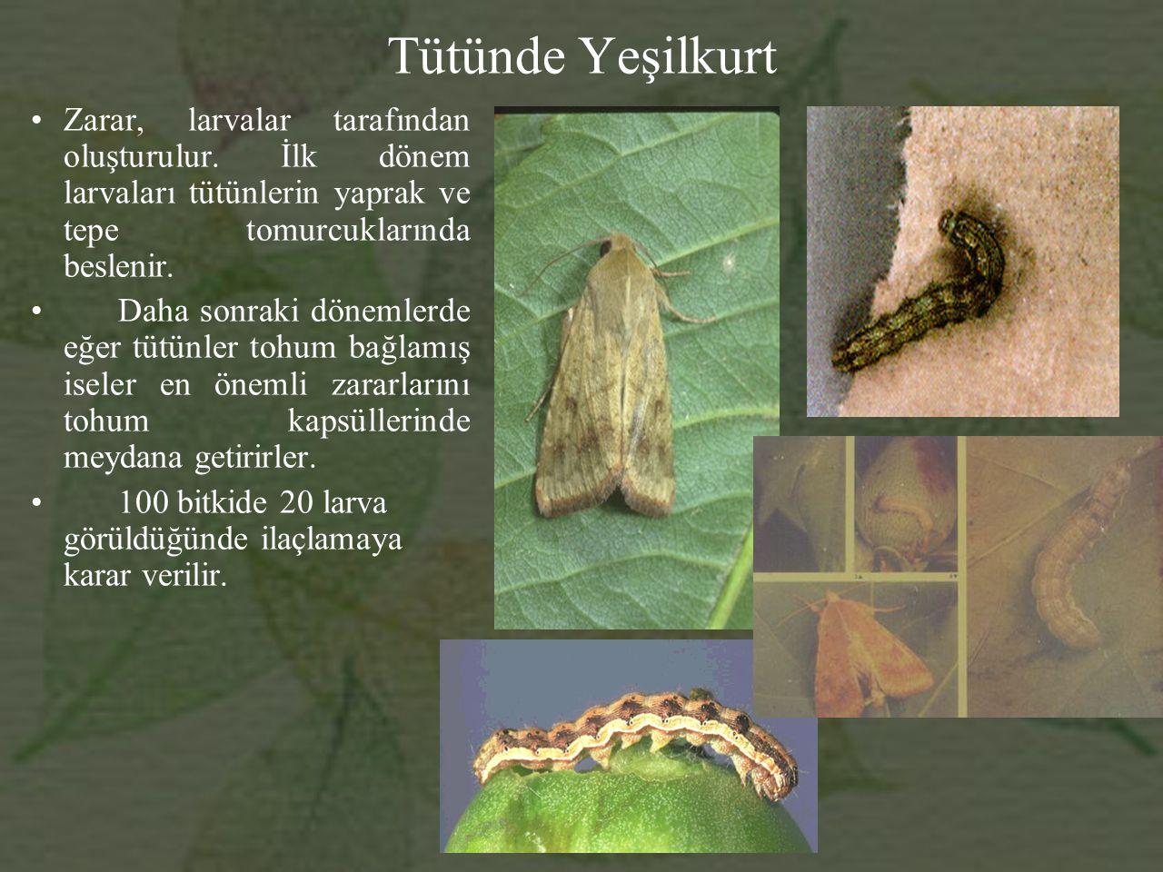 Tütünde Yeşilkurt Zarar, larvalar tarafından oluşturulur. İlk dönem larvaları tütünlerin yaprak ve tepe tomurcuklarında beslenir.