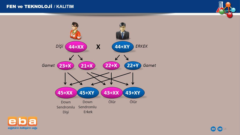 X FEN ve TEKNOLOJİ / KALITIM 44+XX 44+XY 23+X 21+X 22+X 22+Y 45+XX