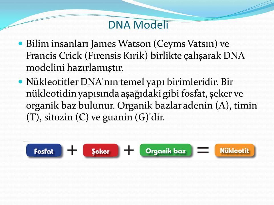 DNA Modeli Bilim insanları James Watson (Ceyms Vatsın) ve Francis Crick (Fırensis Kırik) birlikte çalışarak DNA modelini hazırlamıştır.