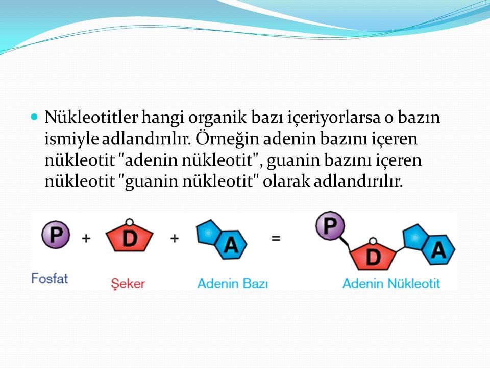 Nükleotitler hangi organik bazı içeriyorlarsa o bazın ismiyle adlandırılır.