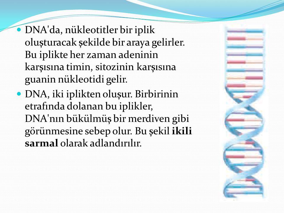 DNA da, nükleotitler bir iplik oluşturacak şekilde bir araya gelirler