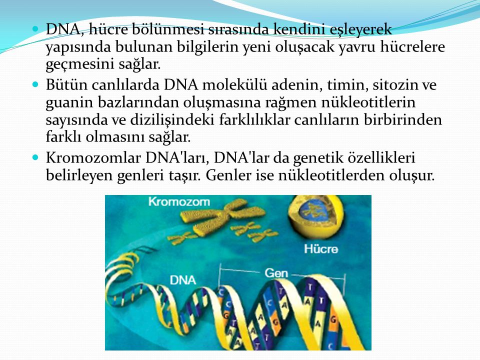 DNA, hücre bölünmesi sırasında kendini eşleyerek yapısında bulunan bilgilerin yeni oluşacak yavru hücrelere geçmesini sağlar.