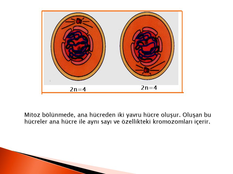 2n=4 2n=4. Mitoz bölünmede, ana hücreden iki yavru hücre oluşur.