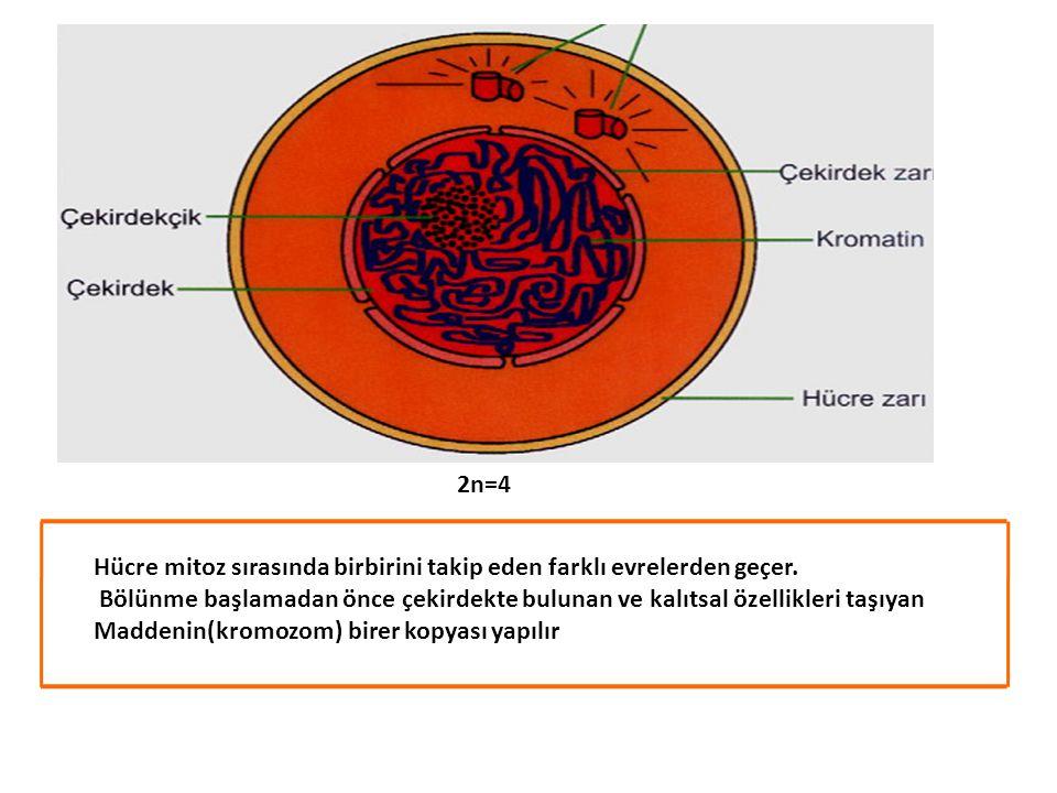 2n=4 Hücre mitoz sırasında birbirini takip eden farklı evrelerden geçer. Bölünme başlamadan önce çekirdekte bulunan ve kalıtsal özellikleri taşıyan.