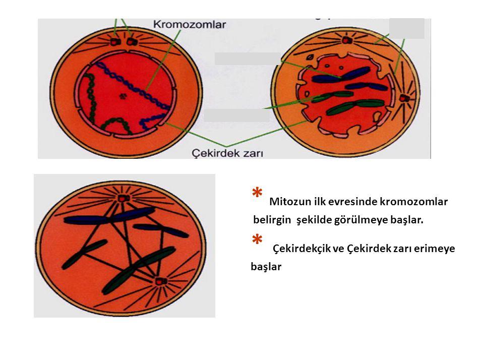 * Mitozun ilk evresinde kromozomlar