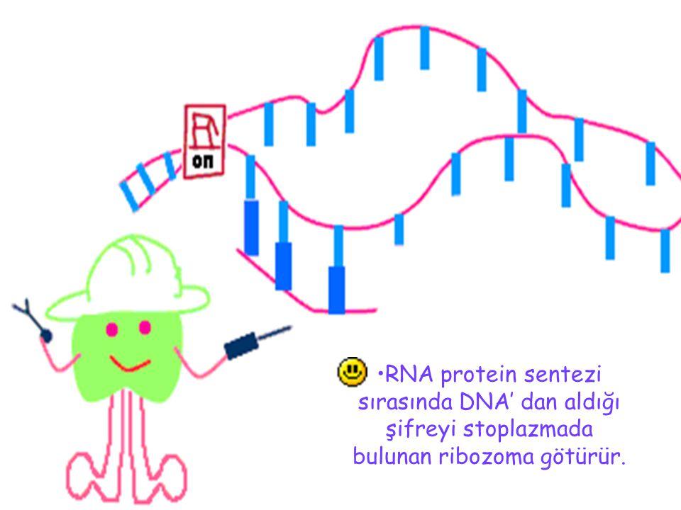 RNA protein sentezi sırasında DNA' dan aldığı şifreyi stoplazmada bulunan ribozoma götürür.