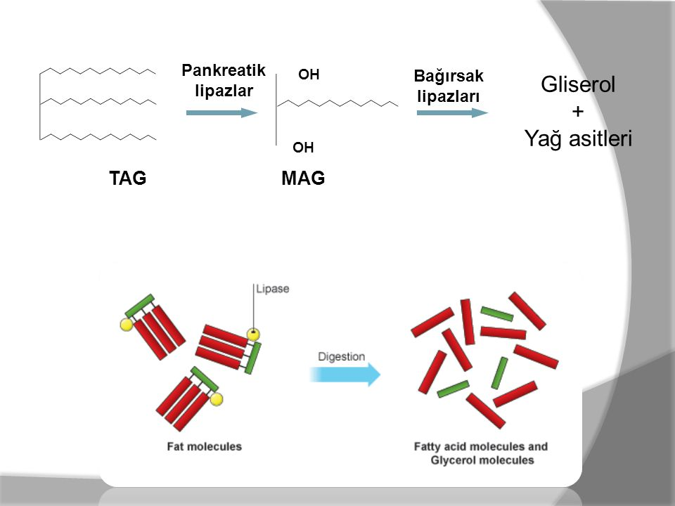 Gliserol + Yağ asitleri TAG MAG Pankreatik Bağırsak lipazlar lipazları