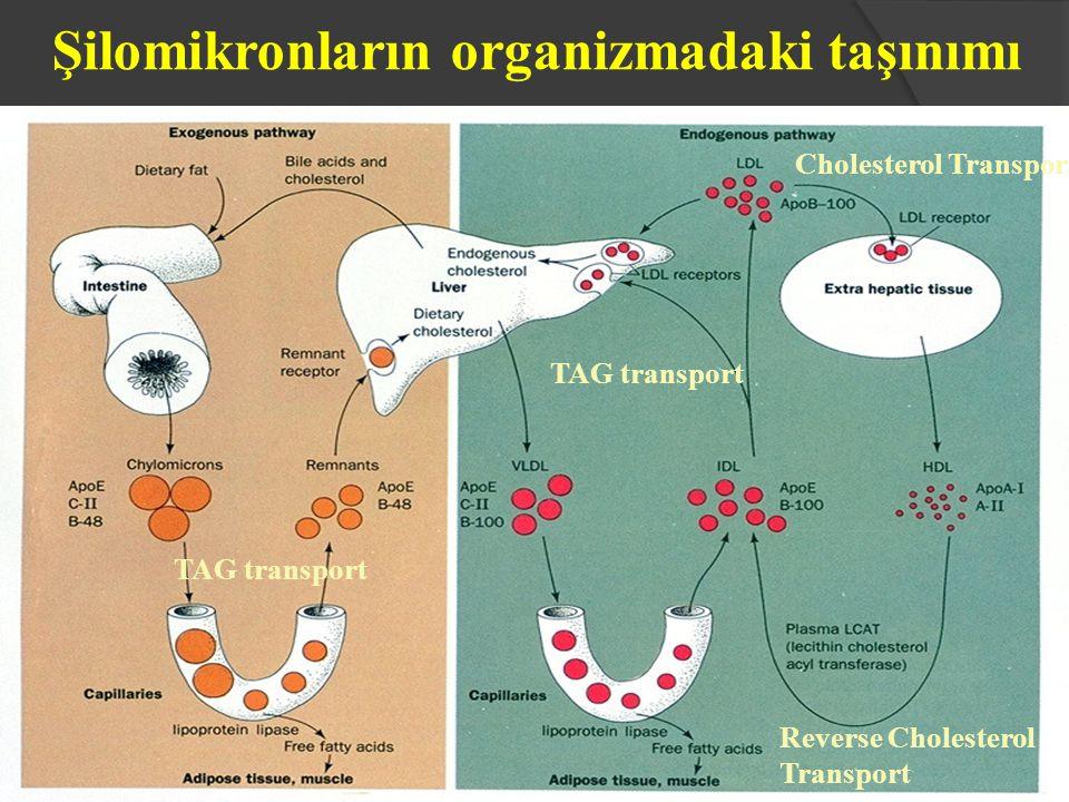 Şilomikronların organizmadaki taşınımı