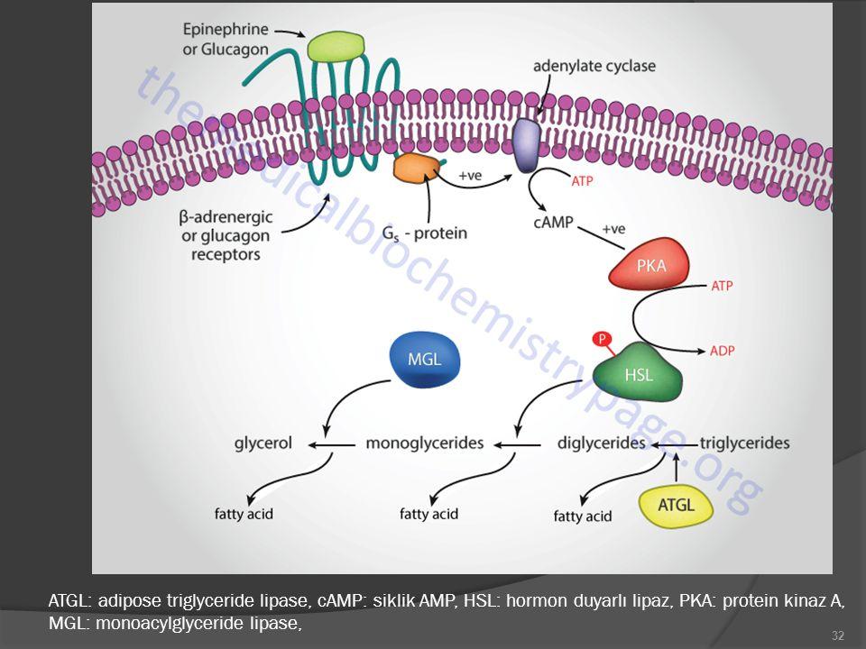 ATGL: adipose triglyceride lipase, cAMP: siklik AMP, HSL: hormon duyarlı lipaz, PKA: protein kinaz A, MGL: monoacylglyceride lipase,