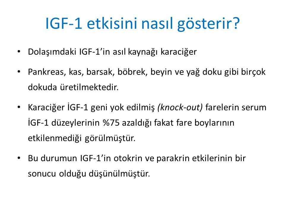 IGF-1 etkisini nasıl gösterir
