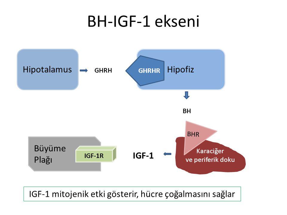 IGF-1 mitojenik etki gösterir, hücre çoğalmasını sağlar