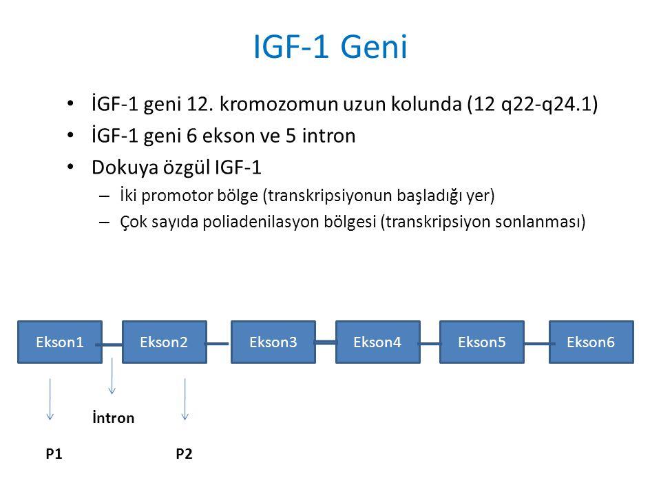 IGF-1 Geni İGF-1 geni 12. kromozomun uzun kolunda (12 q22-q24.1)