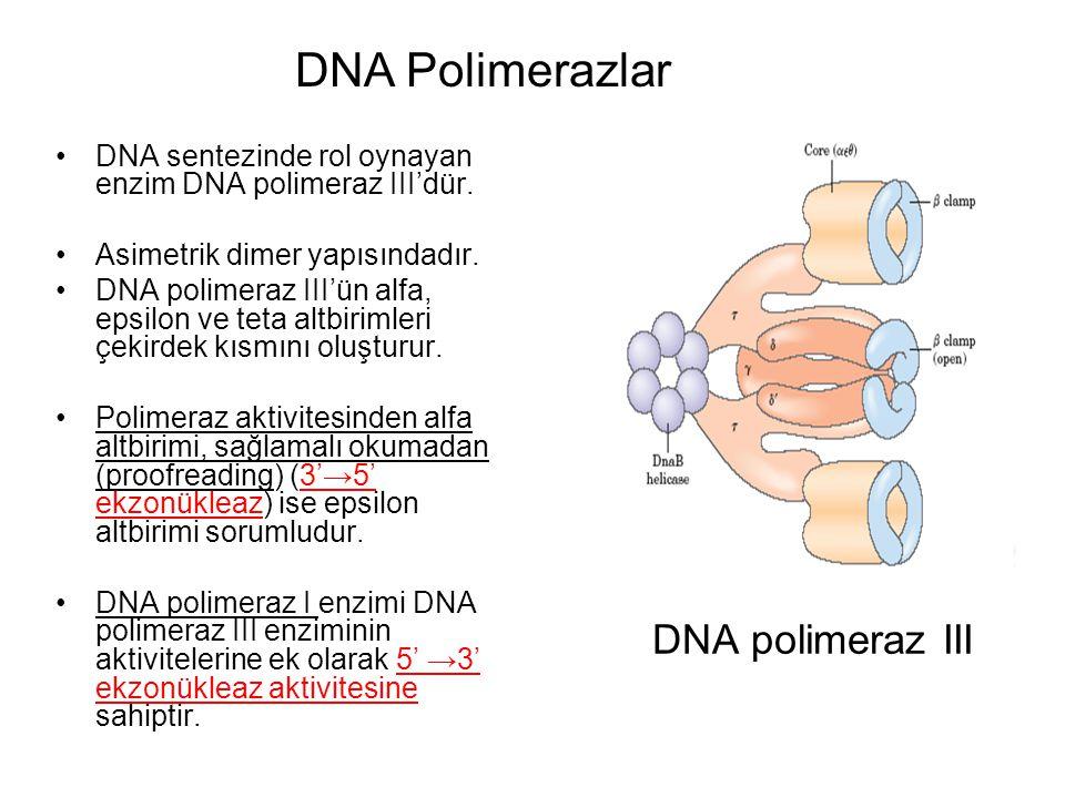 DNA Polimerazlar DNA polimeraz III
