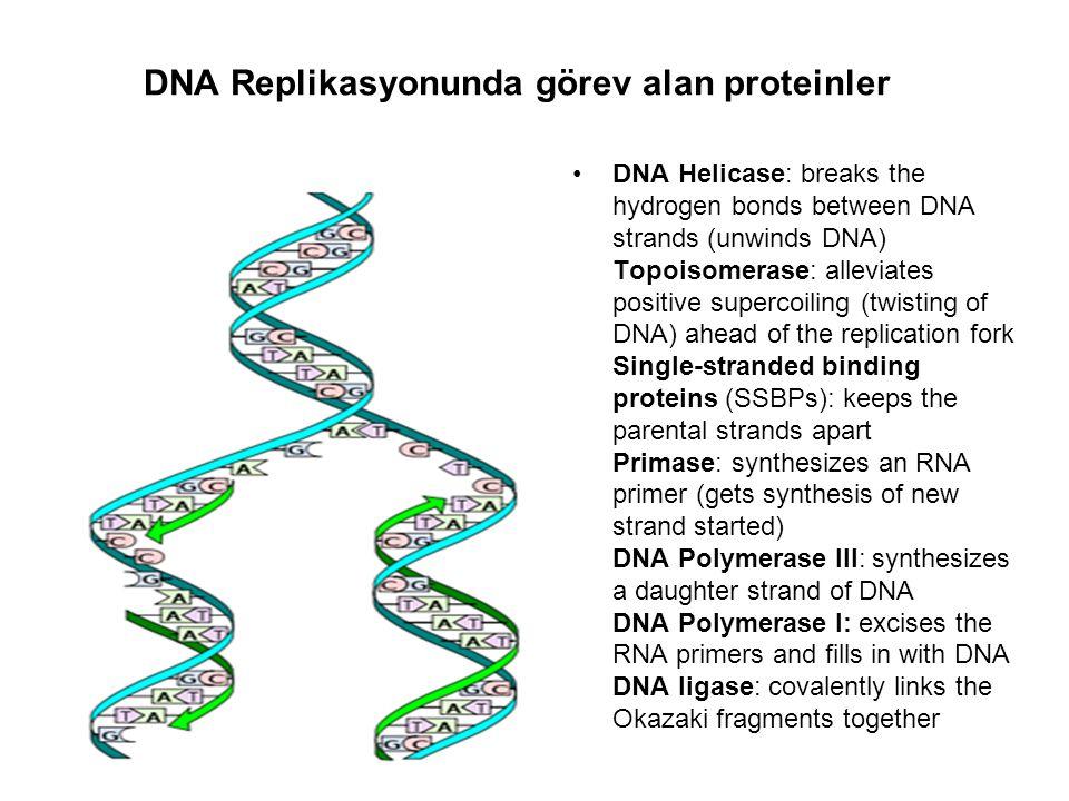 DNA Replikasyonunda görev alan proteinler