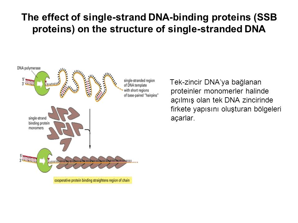 The effect of single-strand DNA-binding proteins (SSB proteins) on the structure of single-stranded DNA