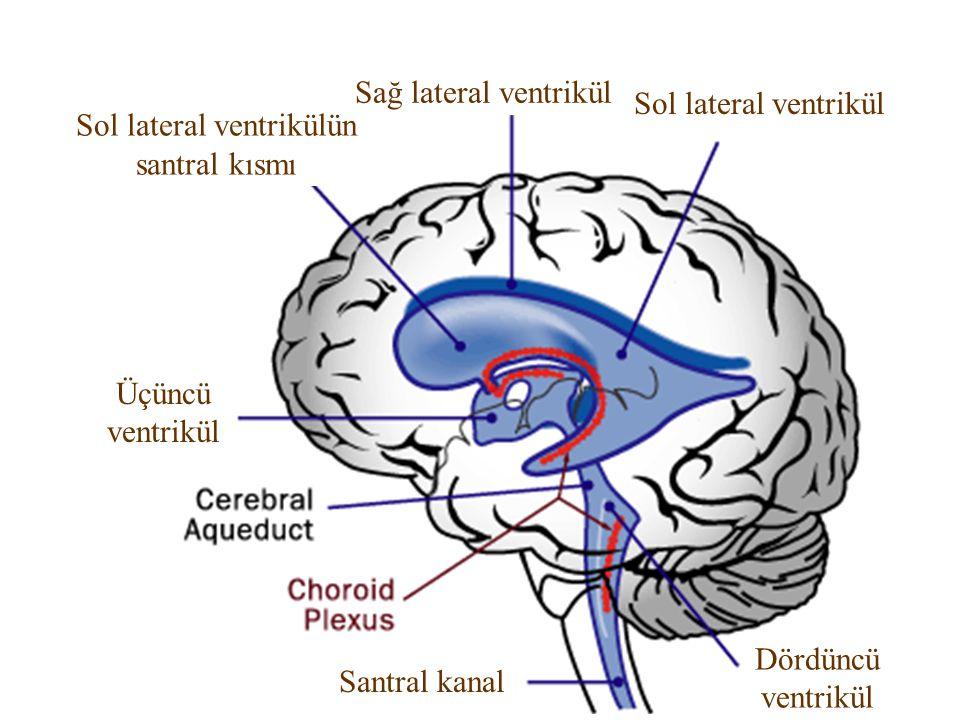 Sol lateral ventrikülün