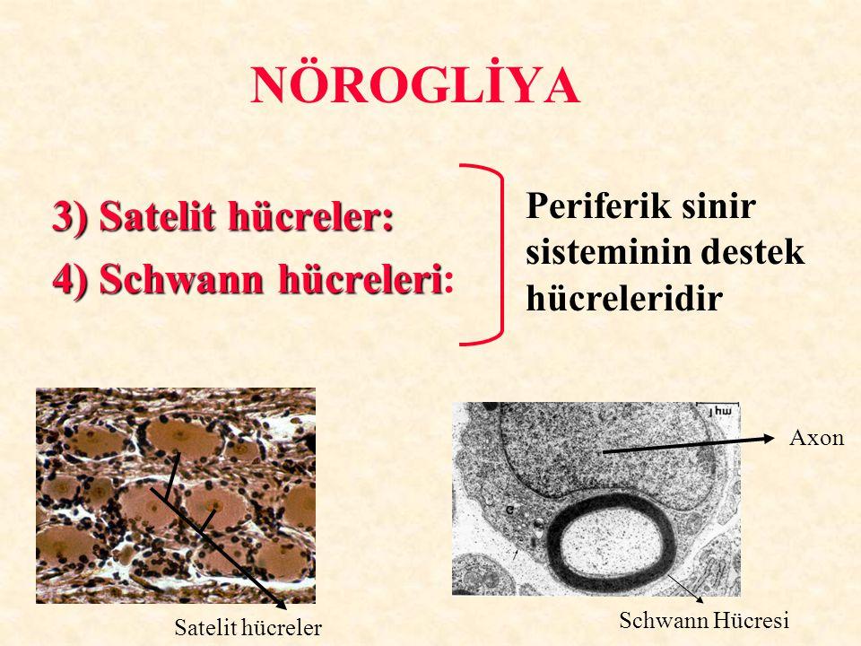 NÖROGLİYA 3) Satelit hücreler: 4) Schwann hücreleri: