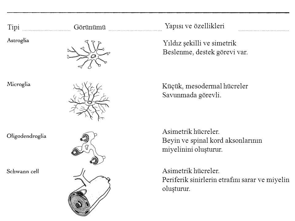 Tipi Görünümü. Yapısı ve özellikleri. Yıldız şekilli ve simetrik. Beslenme, destek görevi var. Küçük, mesodermal hücreler.