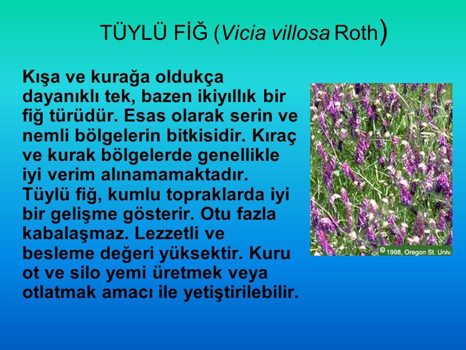 TÜYLÜ FİĞ (Vicia villosa Roth)