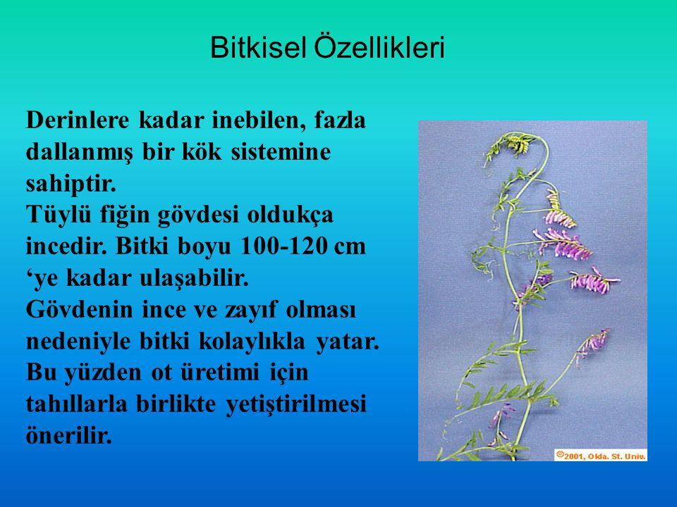 Bitkisel Özellikleri Derinlere kadar inebilen, fazla dallanmış bir kök sistemine sahiptir.