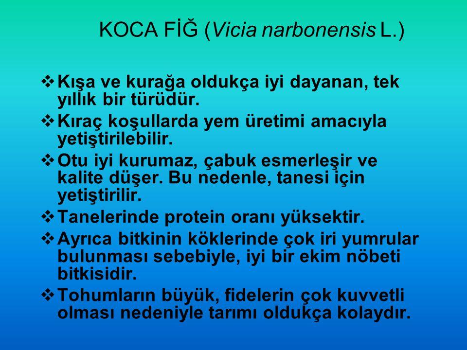 KOCA FİĞ (Vicia narbonensis L.)