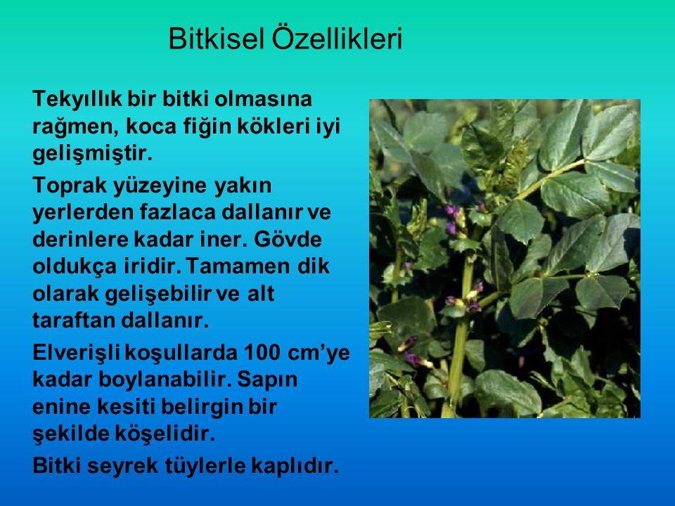 Bitkisel Özellikleri Tekyıllık bir bitki olmasına rağmen, koca fiğin kökleri iyi gelişmiştir.