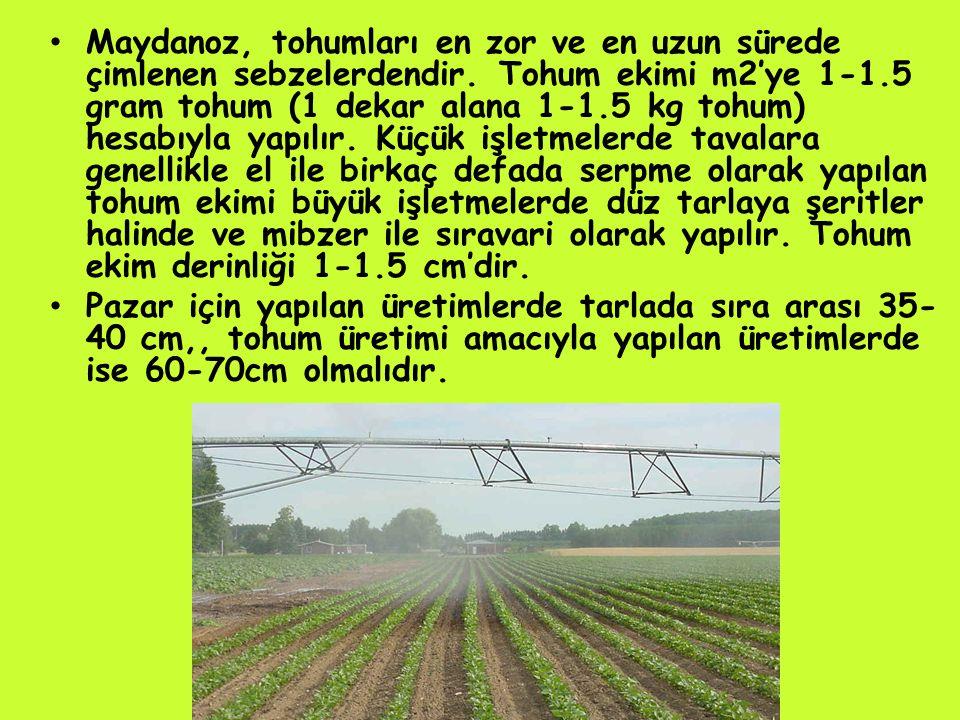 Maydanoz, tohumları en zor ve en uzun sürede çimlenen sebzelerdendir