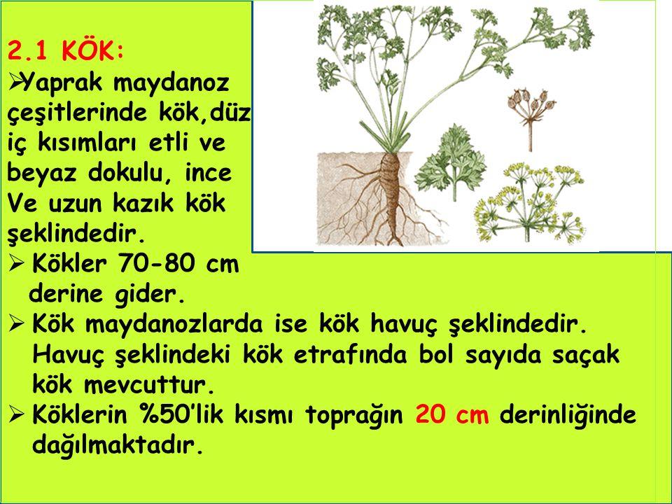 2.1 KÖK: Yaprak maydanoz çeşitlerinde kök,düz iç kısımları etli ve
