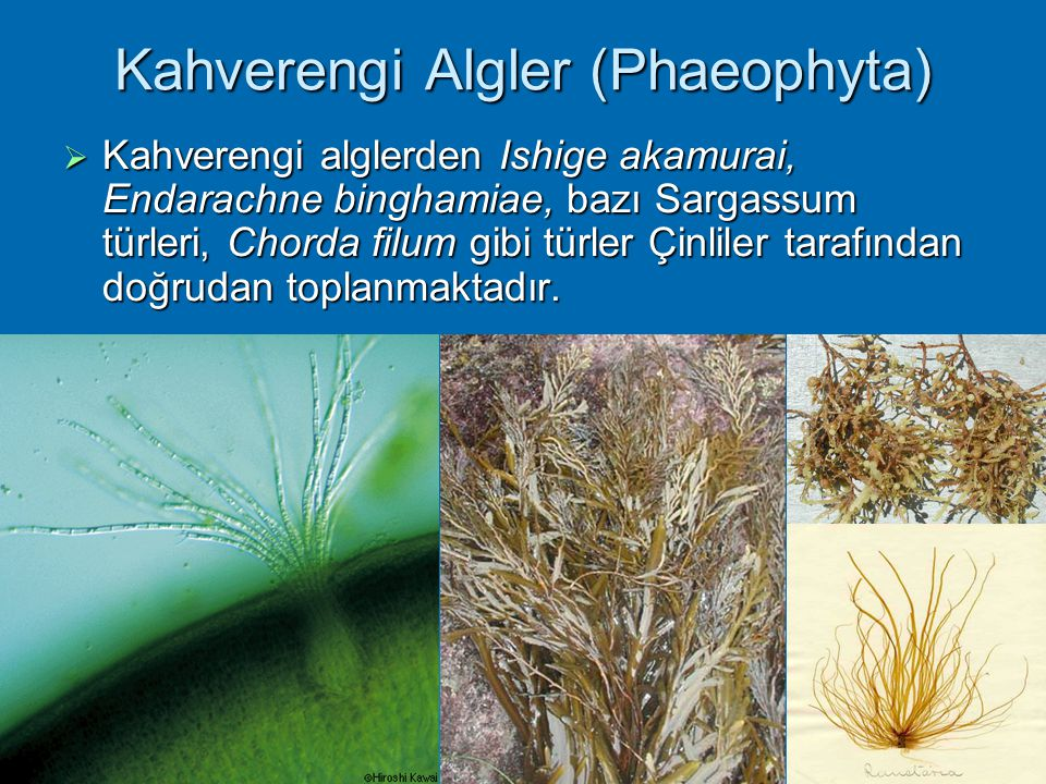 Kahverengi Algler (Phaeophyta)