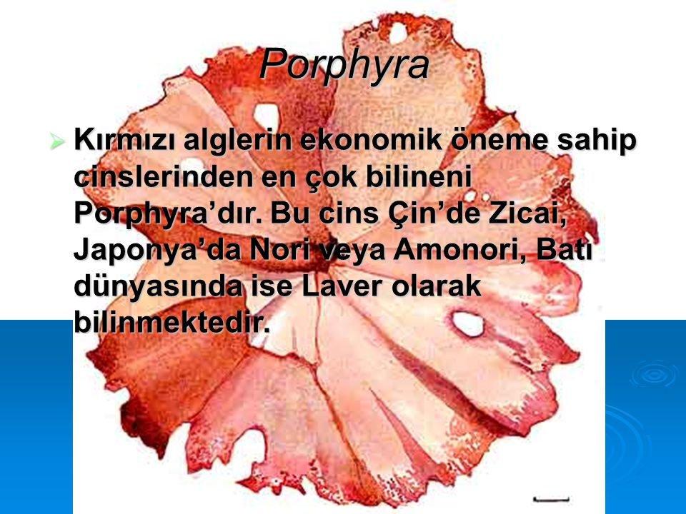 Porphyra