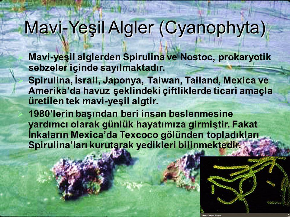 Mavi-Yeşil Algler (Cyanophyta)