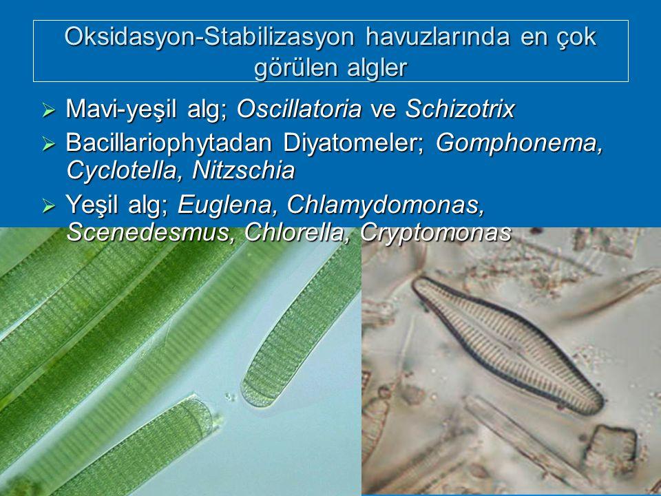 Oksidasyon-Stabilizasyon havuzlarında en çok görülen algler