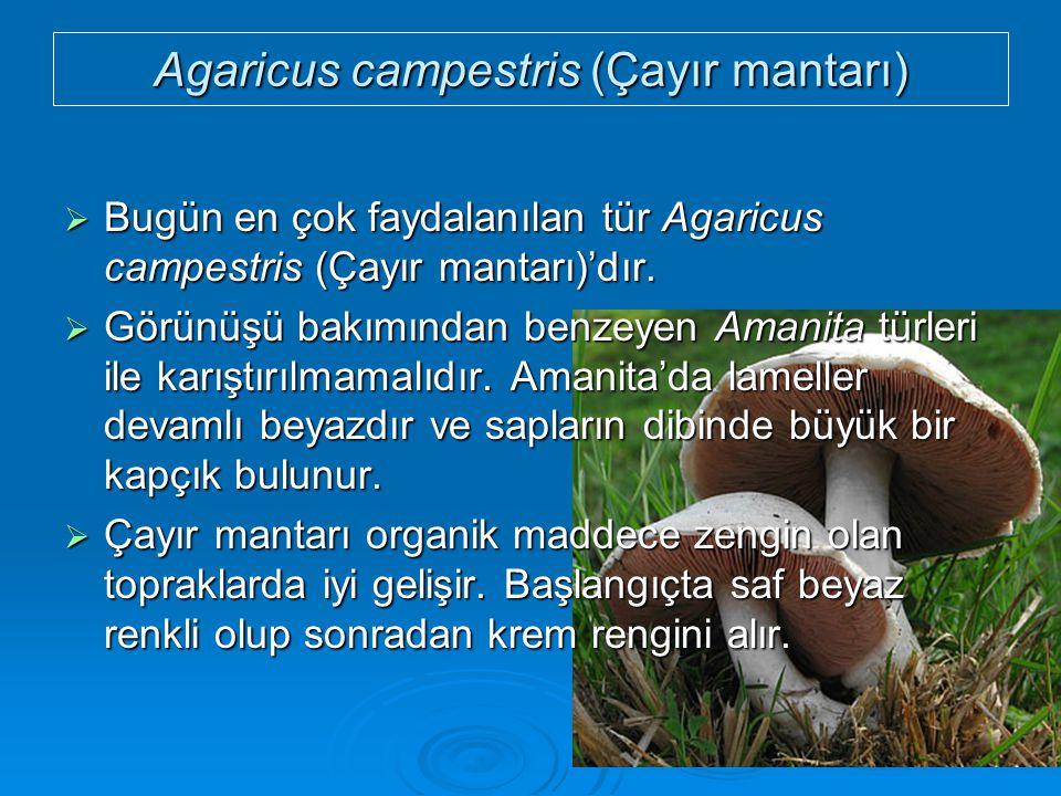 Agaricus campestris (Çayır mantarı)