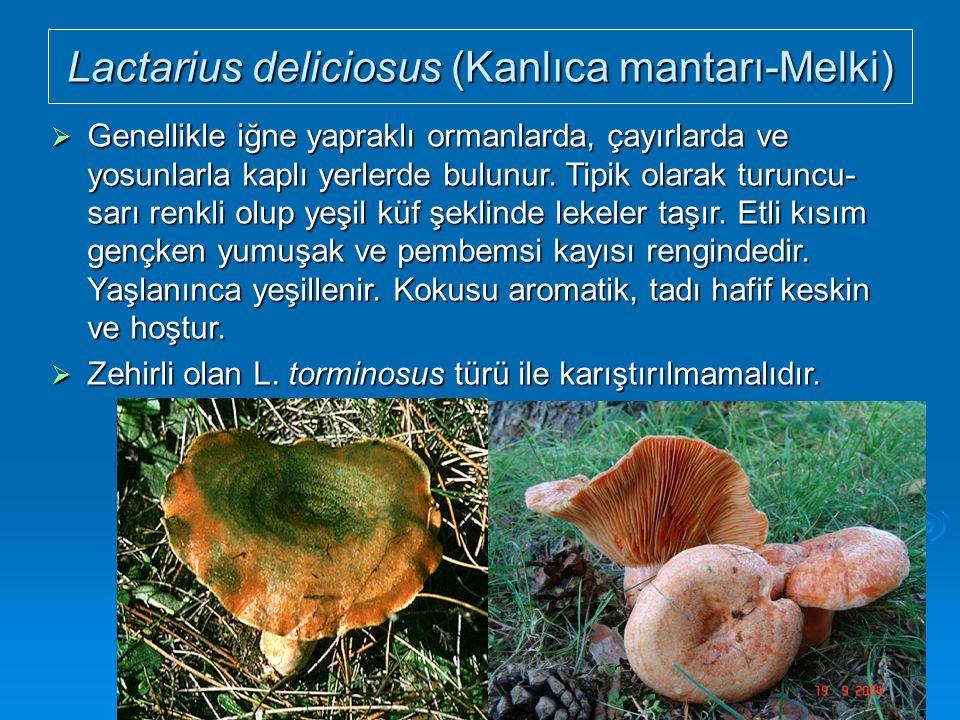 Lactarius deliciosus (Kanlıca mantarı-Melki)