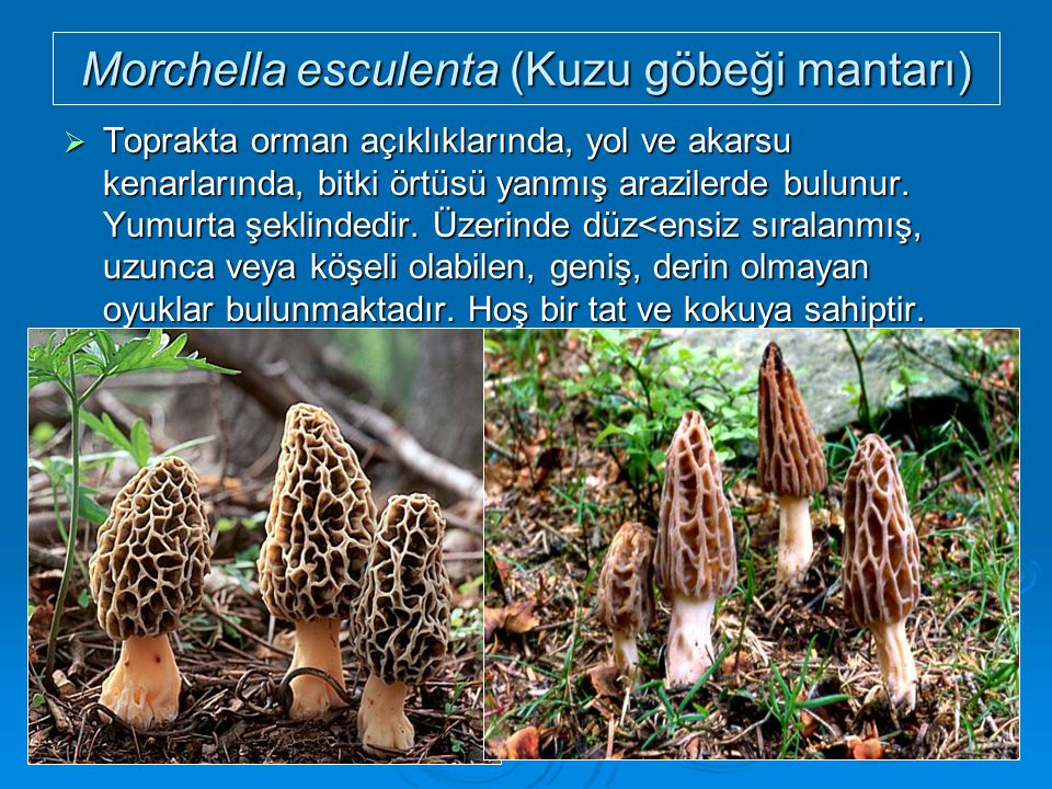 Morchella esculenta (Kuzu göbeği mantarı)