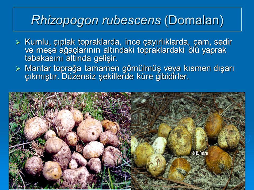 Rhizopogon rubescens (Domalan)