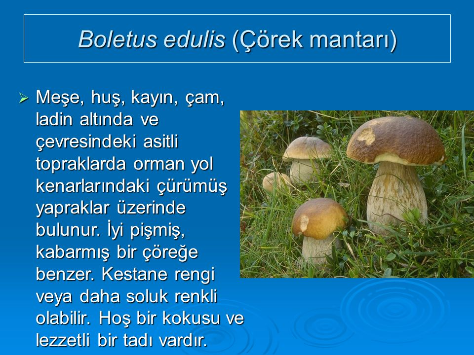 Boletus edulis (Çörek mantarı)