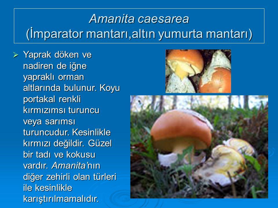Amanita caesarea (İmparator mantarı,altın yumurta mantarı)