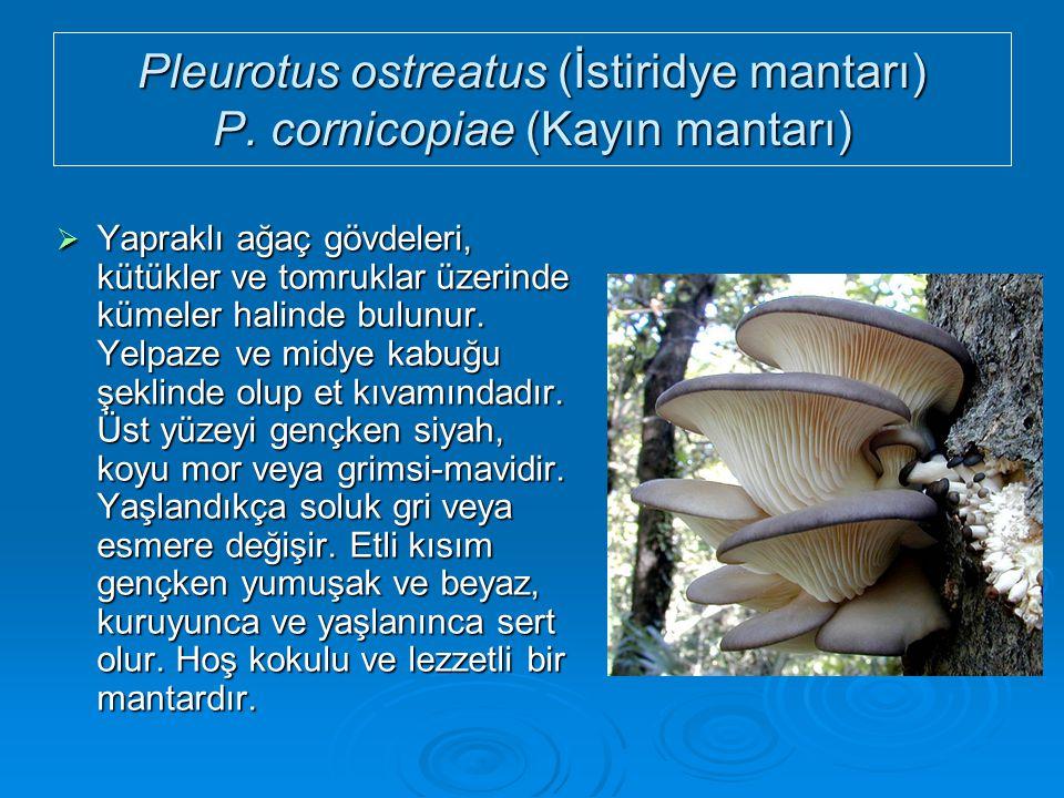 Pleurotus ostreatus (İstiridye mantarı) P. cornicopiae (Kayın mantarı)