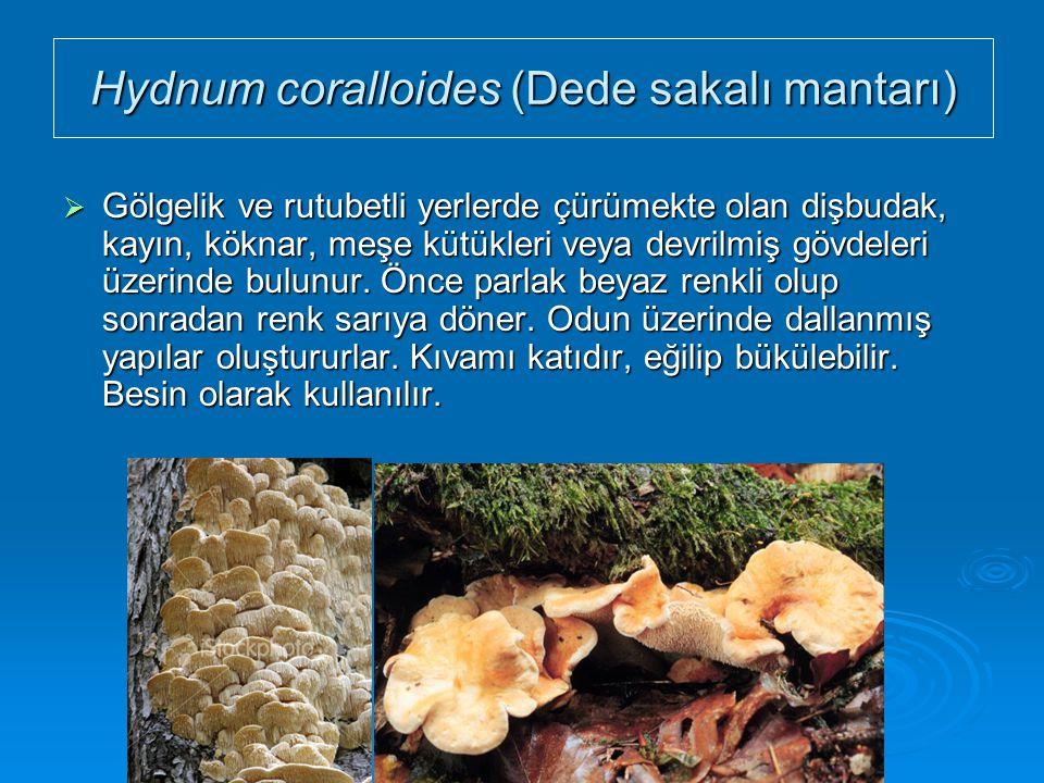 Hydnum coralloides (Dede sakalı mantarı)