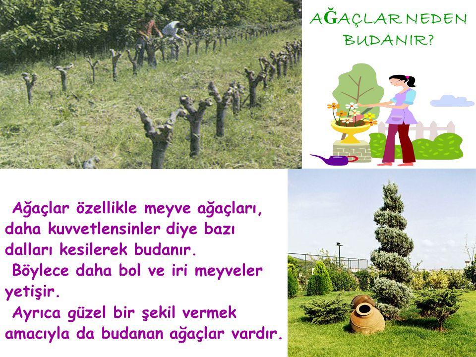 AĞAÇLAR NEDEN BUDANIR Ağaçlar özellikle meyve ağaçları,