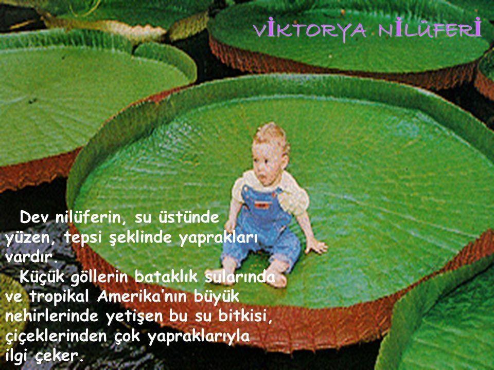 VİKTORYA NİLÜFERİ Dev nilüferin, su üstünde yüzen, tepsi şeklinde yaprakları vardır.